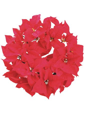 ALL STATE FLORAL - Majestic Velvet Poinsettia Wreath RED